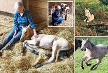 Exmoor Ponies / Celebrating Exmoor ponies!