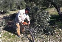 ACTIVIDADES EN EL OLIVAR ECOLOGICO - WORKS ON ORGANIC OLIVE GROVES