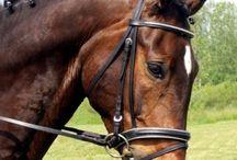 Le Cleveland Bay / Le Cleveland bay est apparu à Cleveland dans le Yorkshire, il est le descendant des chevaux du « Yorkshire coach horses », ainsi que des croisements avec des Purs Sangs Anglais et Arabes.