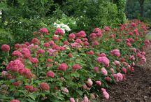 Garden...hydrangeas