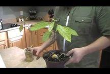 Avocados, citrus and edibles