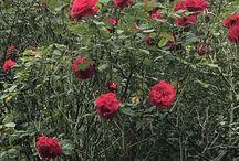 BUNGA ROSS