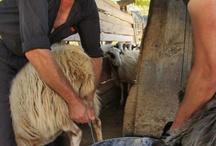 Cretan cheese! / Η ιστορία μίας ΚΡΗΤΙΚΗΣ κεφαλογραβιέρας... Μία παράδοση χιλιάδων χρόνων που πραγματικά όποτε τη βλέπω να γίνεται με τον παραδοσιακό τρόπο συγκινούμαι...