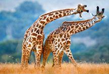 Giraffes Can't Dance ... Dance