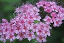 Spirea / Shrubs