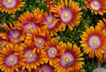 Orange Perennials for Zone 5/6 / A collection of perennials for those of you looking for the perfect flower in the color orange. / by Rice's Nursery