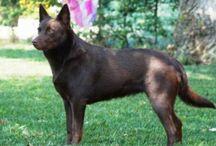 Australian Kelpie / Australian Kelpie dog breed pictures