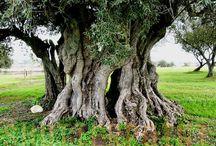 Zeytin ağacının yetiştirilmesi ve istekleri nelerdir? / Çok narin bir ağaç olan zeytin ağacının boyu 10 metreye kadar büyüyebilmektedir. Dalları sık, tepesi yayvan ve her zaman yeşilliğini koruyabilen bir ağaçtır zeytin ağacı. Geniş, kıvrımlı, geniş kıvrımlı ve yumrulu bir gövdesi vardır. Ağaç yaşlandıkça, düzgün gri renkli gövde kabuğu giderek çatlar. -
