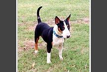 Bull Terriers that need a home / Bull terriers that need a home!
