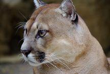 Puma / El gran enemigo del puma es el ser humano. Nosotros estamos protegiendo un puma llamado Campestre. The biggest enemy of the puma is the human being. We are protecting a sand colored puma named Campestre.