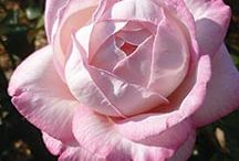 """ROSES / """"A rose by any other name would smell as sweet"""""""