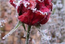 Frost Beauty