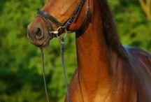 Paard te koop