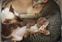 KiTTen LOVe / this bord is inspired by my siamese cat that just had kittens - too adorable!!!