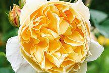 Rose rampicanti / Rose bellissime