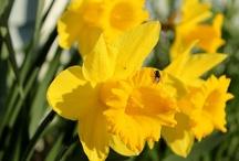 Outdoor Flowers (My Photos) / Spring bulb flowers, flowering shrubs, summer annuals, perennials... all kinds flowers. www.shadyridgephotography.com