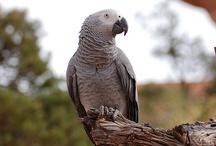Psittacus / Il genere Psittacus, proprio dell'Africa centrale ed occidentale, è caratterizzato dalla presenza di un solo pappagallo, il celebre cenerino, comunque distinto in tre sottospecie. Si tratta di uno dei pappagalli da compagnia più apprezzati per via della sua eccezionale intelligenza e per la sua incredibile predisposizione all'imitazione dei suoni. http://www.pappagallinelmondo.it/psittacus.html