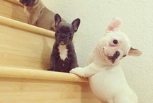 French bulldogs and boston terriers ♡♥