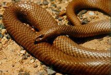 Australia snakes / Australia snakes