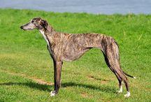 Galgo espagnol - Spanish greyhound