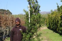 Podocarpus latifolius (Real Yellowwood) / The Real Yellowwood is a very large evergreen and with its long, glossy, green leaves it makes for a beautiful feature. It is also South Africa's national tree. We currently stock 40L of this tree. (Last updated 28 March 2017)