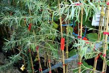 Olivello Spinoso / Vendita Online Piante di #Olivello Spinoso in vaso - Sale Online #CommonSeaBuckthorn Trees in pot.