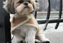 Shih Tzu Clothing / Spring, Summer, Fall & Winter, there is always a new fashion collection for your Shih Tzu.
