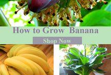 Banana growing