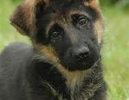 Honden Puppy's