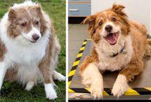 AVANT/APRES : L'incroyable perte de poids de chiens obèses / Découvrez les plus belles transformations physiques des chiens après une perte de poids