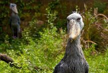 critters - birds - Shoebill storks /  I thought the first picture I saw was faked! But they are REAL!