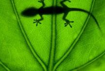 Gecko's