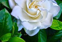 All things Gardenia
