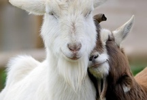 Goats / by Jeannie Thorp