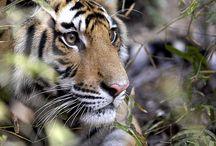 tigerd