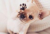 french bulldogs ❤