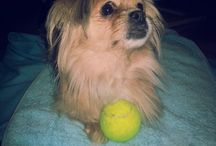 Pekingese (Mici my dog) / Mici a pekingese mix, adopted dog girl.
