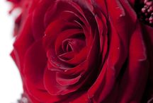 La rose, reine des fleurs / La Rose sous toutes ses coutures !