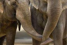 Olifanten ( elephants)