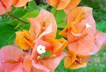 Garden ☆ Bougainvillea / Bougainvillea in the garden.  / by Jenaria's Realm