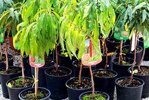 Piante Nane - Dwarf Trees / Vendita Online Piante Nane in vaso. Sale Online Dwarf Trees in pot.