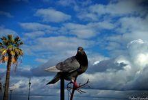 Περιστέρια / Pigeons
