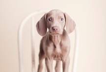 Weimaraners / by Susie Benfield Sincock