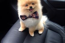 I Love My Pomeranian / For those of you who know their Pomeranian has the heart of a champion!  http://trudog.com/