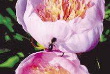 Pionit puutarhassani / peonies in my garden / Kaikki puutarhassani kasvavat erilaiset pionilajit  / All different peony species in my garden