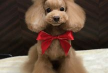 Poodle Grooming / Grooming Techniques and Styles