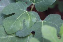Lemon tree organic pesticide