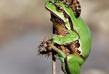 Grodor/frogs