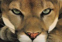Images Cougar