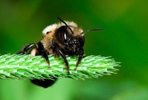 Home studies - Mason Bees